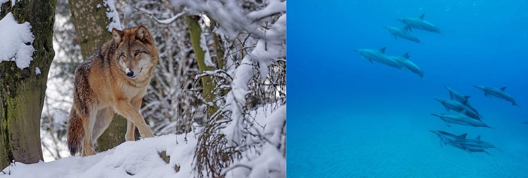 Gegenüberstellung: Links ein einsamer Wolf; rechts eine Schule Delfine